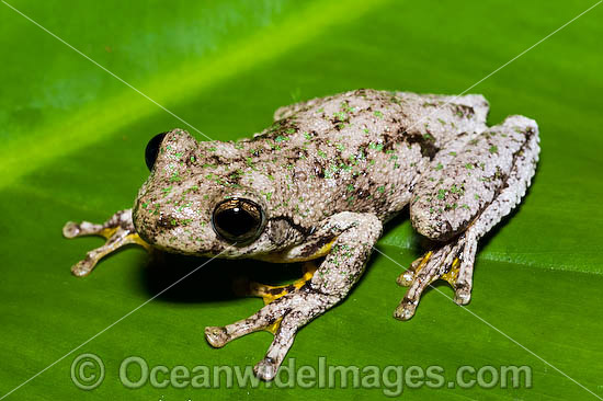 tree frog pictures. Peron#39;s Tree Frog (Litoria
