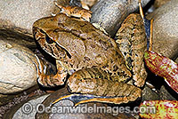 Giant Barred Frog Mixophyes iteratus Photo - Gary Bell
