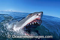 Great White Shark with open jaws photo