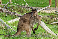 Kangaroo Island Kangaroo photo