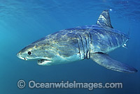 Great White Shark underwater Photo - Gary Bell