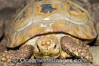 Elongate Tortoise Indotestudo elongata photo