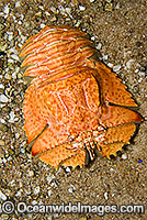 Slipper Lobster Ibacus alticrenatus Photo - Gary Bell