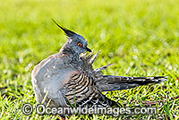 Crested Pigeon Ocyphaps lophotes Photo - Gary Bell