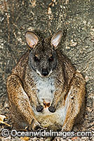 Parma Wallaby Macropus parma photo