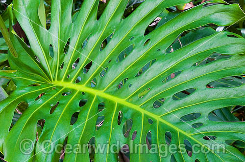Tropical Garden Plant. Used in gardens throughout tropical Australia Photo - Gary Bell