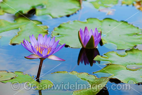 Water lily, or Waterlily (Nymphaea sp.) A common water plant that can be seen in ponds and water ways throughtout tropical Australia. Despite their name, water-lilies are not related to the true lilies (Family Liliaceae). Photo - Gary Bell