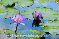 Waterlily Nymphaea sp. Photo - Gary Bell