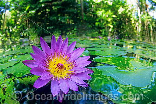 Water lily waterlily stock photo for Pond plants names