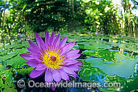 Water lily Waterlily Photo - Gary Bell
