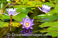 Water lily Nymphaea sp. Photo - Gary Bell