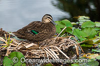 Pacific Black Duck nest photo
