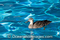 Pacific Black Duck Anus superciliosa photo