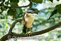 Nankeen Rufous Night Heron photo