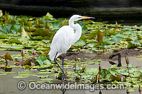 Great Egret Ardea alba photo