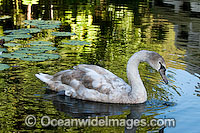 Mute Swan Cygnus olor photo