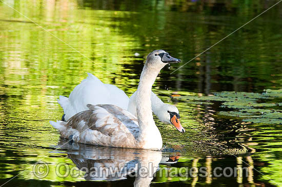 Mute Swan (Cygnus olor) - adult with immature adult. Found around rivers and ornamental ponds and lakes throughout Australia. Introduced to Australia Photo - Gary Bell