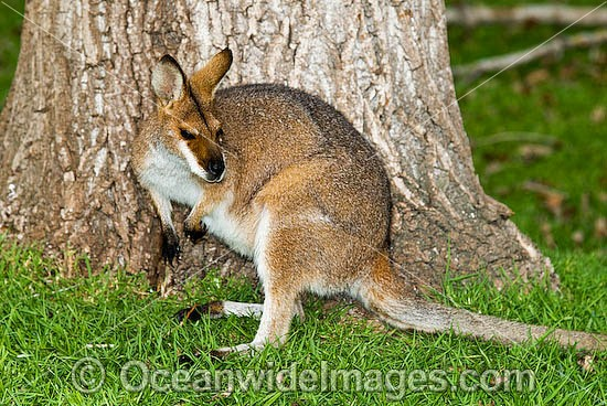 Red-necked Wallaby (Macropus rufogriseus rufogriseus). A sub-species of the mainland Red-necked Wallaby. Also known as Bennett's Wallaby. Found in eucalypt forest and coastal heathland areas of Tasmania, Australia. Photo - Gary Bell