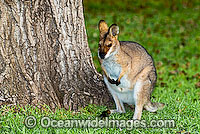 Red-necked Wallaby Macropus rufogriseus Photo - Gary Bell