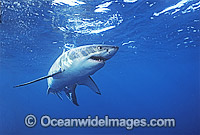 Great White Shark White Pointer