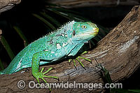 Fijian Crested Iguana Photo - Gary Bell