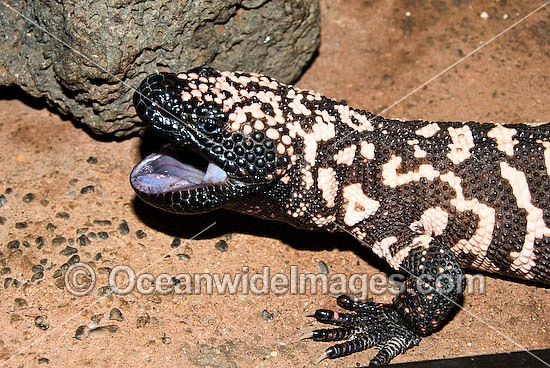 Reticulate Gila Monster (Heloderma suspectum) - with mouth open. One of only two species of venomous Lizards in the world. United States of America. Vulnerable species. Photo - Gary Bell