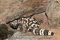 Reticulate Gila Monster Heloderma suspectum Photo - Gary Bell