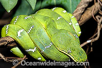 Emerald Tree Boa Corallus caninus Photo - Gary Bell