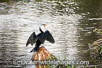 Little Pied Cormorant Photo - Gary Bell