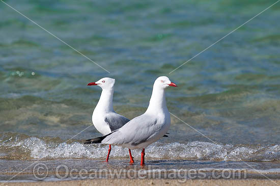 Silver Gulls (Larus novaehollandiae). Also known as Sea Gull. Found throughout coastal Australia. Also inland waters and urban areas in Australia. Photo - Gary Bell