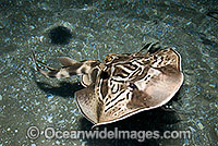 Eastern Fiddler Ray Trygonorrhina sp. Photo - Gary Bell