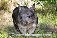 Southern Hairy-nosed Wombat Photo - Gary Bell