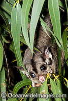 Squirrel Glider Petaurus norfolcensis Photo - Gary Bell
