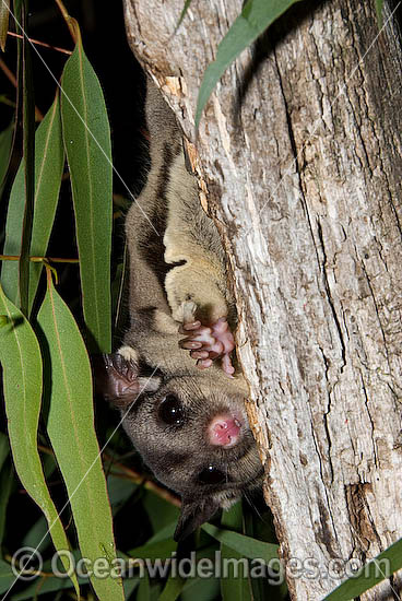 Squirrel Glider (Petaurus norfolcensis) - in a eucalypt tree. Found in a range of forest habitats in eastern Australia. Listed on IUCN Red List as Lower Risk - Near Threatened. Photo - Gary Bell