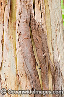 Bark of Eucalypt tree