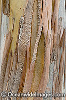 Bark of Eucalypt tree Photo - Gary Bell