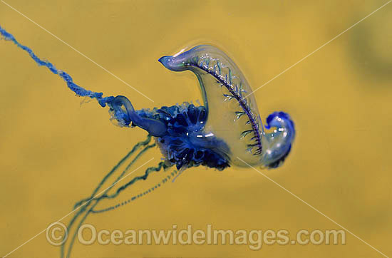 Portuguese Man-of-War (Physalia physalis). Also known as the Blue Bottle, Blue Bubble, Man o'War and Portuguese Man-of-War. Venomous - capable of producing a very painful, powerful sting. Eastern Australia