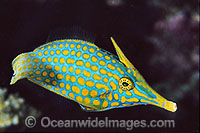 Long-nose Filefish Oxymonacanthus longirostris photo