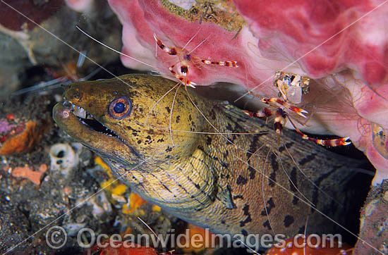 Spot-face Moray Eel (Gymnothorax fimbriatus) - at a fish cleaning station, attended by two Banded Coral Cleaner Shrimp (Stenopus hispidus). Found in tropical Australian waters and throughout South East Asia and Indo-West Pacific. Photo - Gary Bell