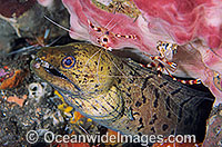 Spot-face Moray Eel cleaned by Cleaner Shrimp Photo - Gary Bell