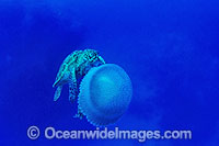 Green Sea Turtle feeding on Jellyfish