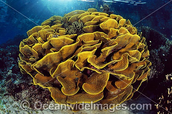 Underwater Seascape showing Cabbage Coral (Turbinaria reniformis) reef. Also known as Scroll Coral. Great Barrier Reef, Queensland, Australia Photo - Bob Halstead