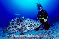 Scuba Diver Potato Cod photo