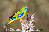 Turquoise Parrot Neophema pulchella Photo - Gary Bell