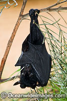 Black Flying-fox Pteropus alecto