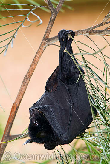 Black Flying-fox (Pteropus alecto) - juvenile. Also known as Fruit Bat, Fury Wing-foot and Megabat. Found throughout coastal tropical Australia, also from Sulawesi to New Guinea. Vulnerable Species. Photo - Gary Bell