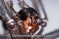 Trapdoor Spider male in strike pose image