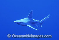 Sandbar Shark Carcharhinus plumbeus photo