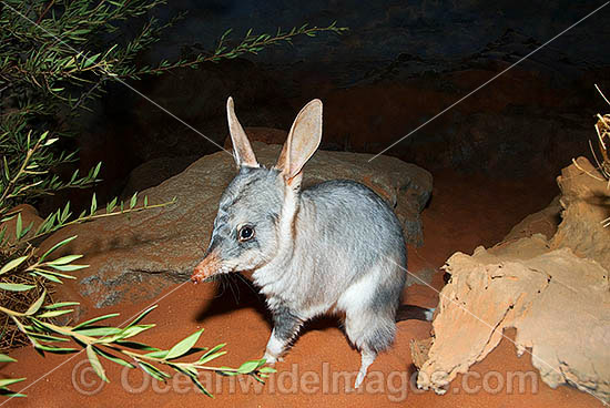 Greater Bilby (Macrotis lagotis). The Bilby formerly occurred over 70% of mainland Australia but now classified Vulnerable on the IUCN Red List. Rare and Endangered species. Photo - Gary Bell
