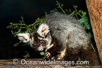 Greater Glider Petauroides volans photo